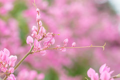 Coral vine or Antigonon leptopus hook flower Stock Photography