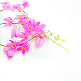 Coral Vine. Beautiful pink flower, Coral Vine (Antigonon leptopus) isolated on a white background Stock Photography