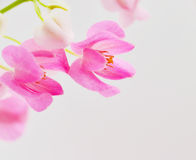 Coral Vine Stock Images