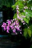 Coral Vine eller förbundsmedlemvinrankablomma Arkivfoton
