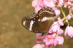 Coral vine flower and butterfly Royalty Free Stock Images