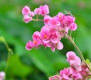 Coral Vine flower Stock Images