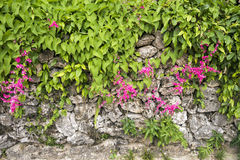 Coral vine flowers Royalty Free Stock Photo