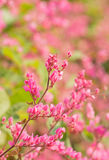 Coral vine in garden with blur background. Royalty Free Stock Photography