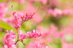 Coral vine in garden with blur background. Stock Photo