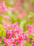 Coral vine in garden with blur background. Royalty Free Stock Photos
