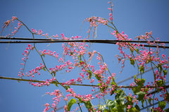 Coral Vine Stock Photos