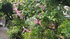 Coral Vine Mexican Creeper Chain av förälskelse Royaltyfri Fotografi