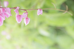 Coral Vine,Mexican Creeper, Chain of Love Royalty Free Stock Photo