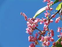 Coral Vine, mexikanische Kriechpflanze Kette der Liebe, verbündeter Vineflow lizenzfreies stockbild