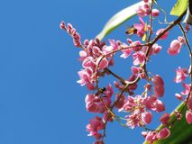 Coral Vine, mexikanische Kriechpflanze Kette der Liebe, verbündeter Vineflow stockbilder