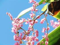 Coral Vine, mexikanische Kriechpflanze Kette der Liebe, verbündeter Vineflow lizenzfreie stockbilder