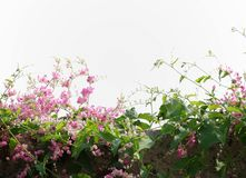 Coral vine. On white background Stock Image