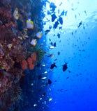 Coral Wall Stock Image