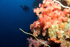 Coral Wall. Soft Coral and Diver along the Reef Wall, Bunaken, Indonesia Stock Photography