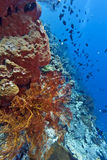 Coral wall - Indonesia Royalty Free Stock Image