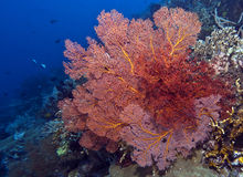 Coral wall off Bunaken island royalty free stock photos