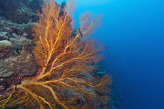Coral wall off Bunaken island Stock Photos