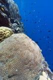 Coral wall off Bunaken island Stock Image