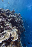 Coral wall off Bunaken island Royalty Free Stock Photography