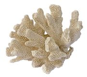 Coral on white background Royalty Free Stock Photo