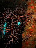 Coral on a Wreck. Beautiful Coral on the Ancient Mariner at 70 feet off the coast of south Florida Stock Photos