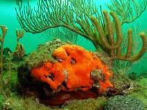 Coral y mar anaranjados Rod Fotos de archivo libres de regalías