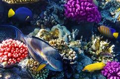Coral y pescados en el Mar Rojo. Imagen de archivo libre de regalías