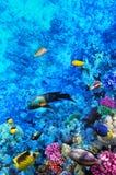 Coral y pescados en el Mar Rojo. Egipto, África. Imagen de archivo libre de regalías