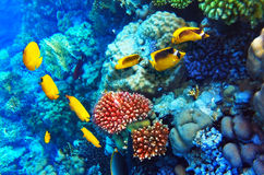 Coral y pescados en el Mar Rojo. Egipto, África. Foto de archivo