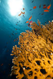 Coral y pescados netos del fuego en el Mar Rojo. Imagen de archivo libre de regalías