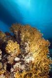 Coral y pescados netos del fuego en el Mar Rojo. Fotografía de archivo