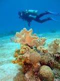 Coral y un zambullidor de equipo de submarinismo Imágenes de archivo libres de regalías