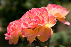 Coral and Yellow Roses Stock Images