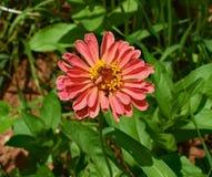 Coral Zinnia, Flower, Blossom Stock Photos