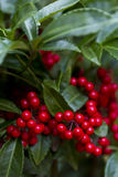 Coralberry plant with red berries Royalty Free Stock Images