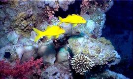 Corales Imagen de archivo libre de regalías