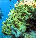 corales Fotografía de archivo