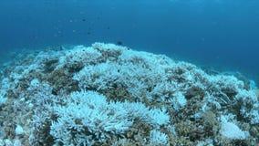 Corales blanqueados almacen de video