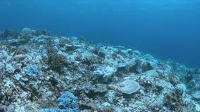Corales blanqueados almacen de metraje de vídeo