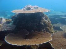 Corales de la tabla en Maldivas Fotografía de archivo libre de regalías