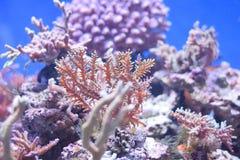 Corales debajo del agua foto de archivo libre de regalías
