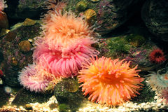 Corales en acuario Imagen de archivo libre de regalías