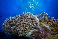 Corales en azul Imágenes de archivo libres de regalías
