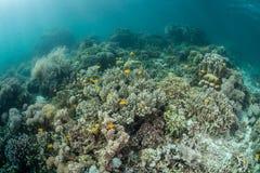 Corales pacíficos imagen de archivo
