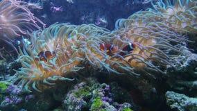 Corales pedregosos del pólipo grande, SP de Galaxea o Acropids almacen de metraje de vídeo