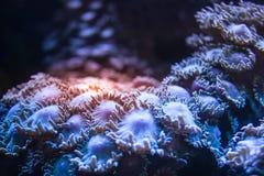 Corales suaves en acuario del mar Fotografía de archivo libre de regalías