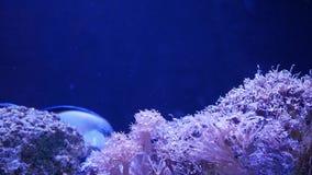 Corales suaves en acuario Corales del primer Anthelia y de Euphyllia en agua azul limpia Vida subacuática marina violeta almacen de video