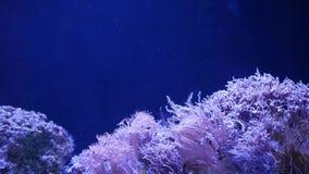 Corales suaves en acuario Corales del primer Anthelia y de Euphyllia en agua azul limpia Vida subacuática marina violeta metrajes