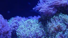 Corales suaves en acuario Corales del primer Anthelia y de Euphyllia en agua azul limpia Vida subacu?tica marina violeta almacen de video